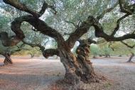 Olives_058