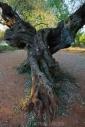 Olives_060