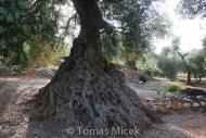 Olives_061