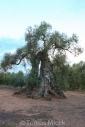 Olives_067