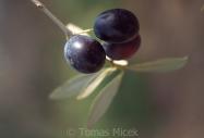 Olives_072
