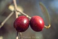 Olives_073