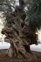 Olives_092