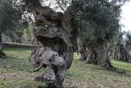 Olives_093