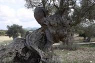 Olives_095