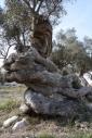 Olives_096
