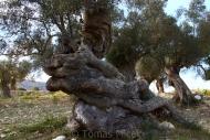 Olives_097