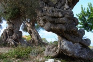 Olives_098