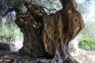 Olives_099