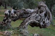 Olives_102