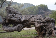 Olives_104