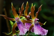 Orchis_089