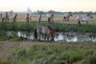 TM_PRZEWALSKI_HORSES_001