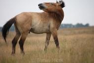 TM_PRZEWALSKI_HORSES_002