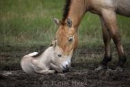 TM_PRZEWALSKI_HORSES_003