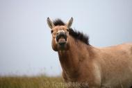 TM_PRZEWALSKI_HORSES_004