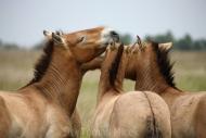TM_PRZEWALSKI_HORSES_005