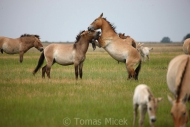 TM_PRZEWALSKI_HORSES_006