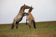 TM_PRZEWALSKI_HORSES_008