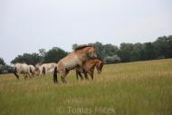 TM_PRZEWALSKI_HORSES_009
