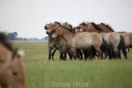 TM_PRZEWALSKI_HORSES_010
