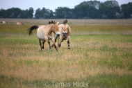 TM_PRZEWALSKI_HORSES_012