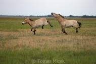 TM_PRZEWALSKI_HORSES_013