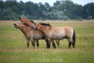 TM_PRZEWALSKI_HORSES_015