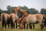 TM_PRZEWALSKI_HORSES_016