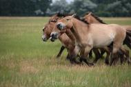 TM_PRZEWALSKI_HORSES_017