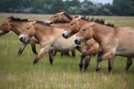 TM_PRZEWALSKI_HORSES_018