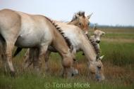 TM_PRZEWALSKI_HORSES_021