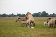 TM_PRZEWALSKI_HORSES_022