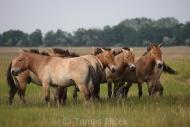TM_PRZEWALSKI_HORSES_023