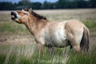 TM_PRZEWALSKI_HORSES_024