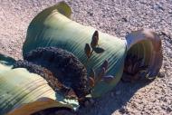 BAOBABY MADAGASKARWELWITSCHIA MIRABILIS NAMIBIA19003003.jpg