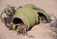 BAOBABY MADAGASKARWELWITSCHIA MIRABILIS NAMIBIA19005005.jpg