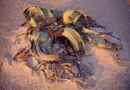 BAOBABY MADAGASKARWELWITSCHIA MIRABILIS NAMIBIA19008008.jpg
