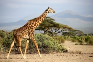 WILD GIRAFFE TANZANIA 2017